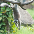 Lovely Lemur — Stockfoto