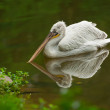 Swimming Pelican - Stock Photo