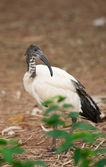 Sacred ibis — Stock Photo