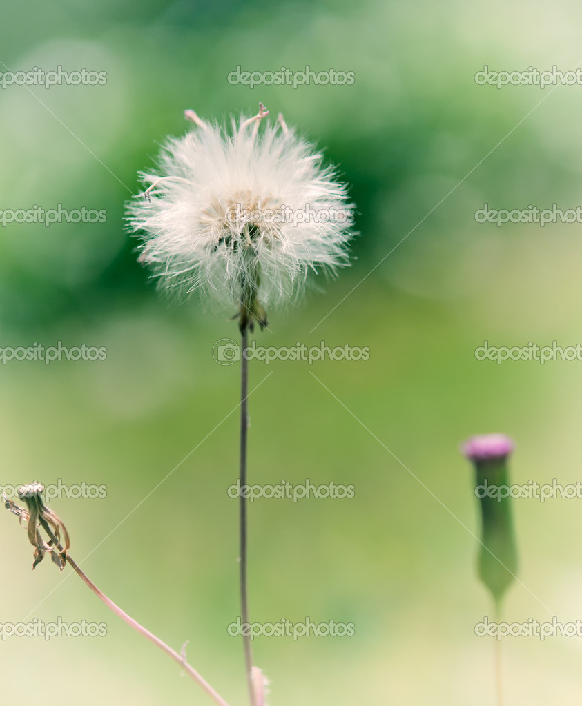 An isolated dandelion in dream. — Stock Photo #12231762