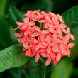 Ixora flower - Stock Photo