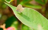 Pieris butterfly — Stock Photo