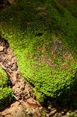 Moos auf stein — Stockfoto