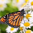 Monarch butterfly on flower - Stock Photo