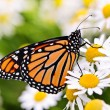 Monarch butterfly on flower — Stock Photo #11551157