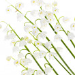 Lily-of-the-valley flowers on white - Stock Photo