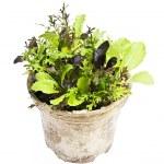 Lettuce plants in pot — Stock Photo