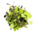 Lettuce seedlings — Stock Photo
