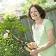 Senior woman pruning rose bush - Stock Photo