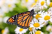Monarca farfalla sul fiore — Foto Stock