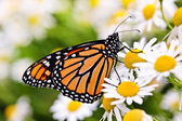 Monarch butterfly on flower — Stock Photo