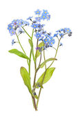 Forget-me-not flowers on white — Stock Photo