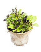 Lettuce plants in pot — Stock Photo