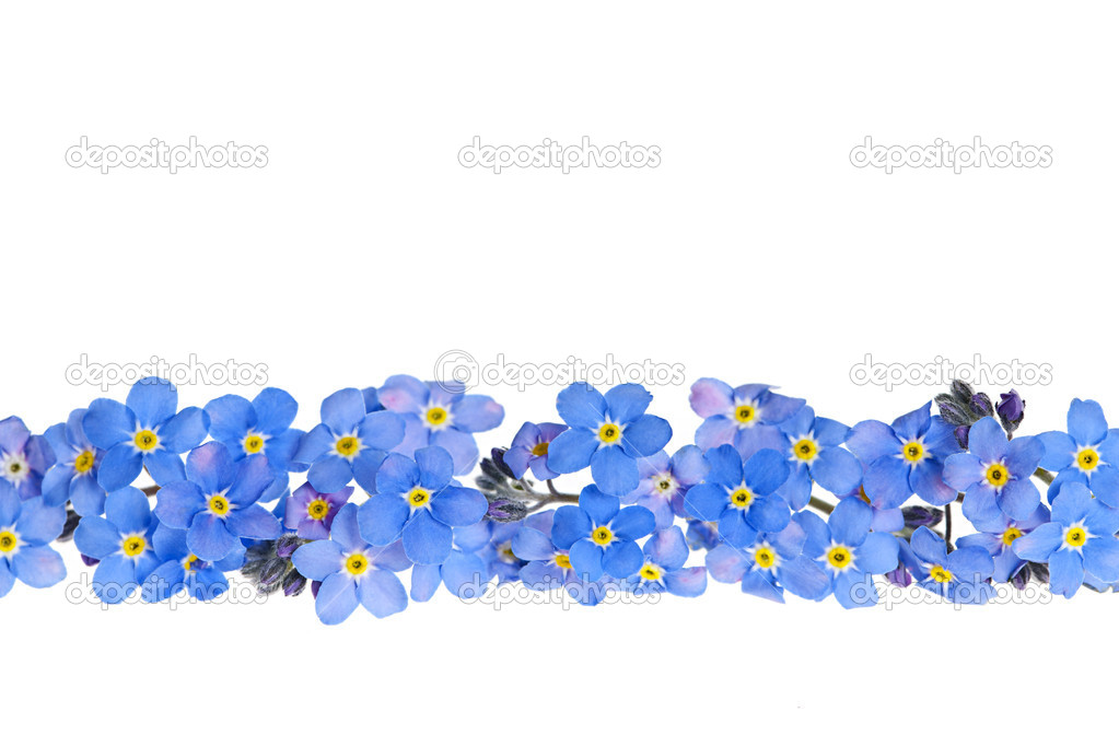 Arrangement of blue forget-me-not flowers isolated on white background  Stock Photo #11551188