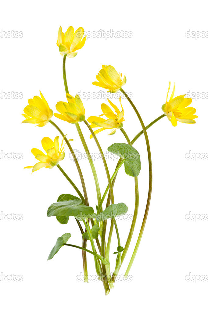 Yellow Lesser Celandine flowers in spring isolated on white background  Stock Photo #11551234