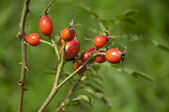 Branchwith fruitriperose hips, outdoor — Stock Photo