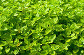 Field of fresh basil in the bio garden — Stock Photo