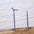 Artic tern sitting alone,, resting between hunting — Stock Photo