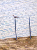 Artic tern, sentada sozinha, descansando entre caça — Foto Stock