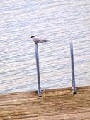 Artic tärna sitter ensam,, vila mellan jakt — Stockfoto