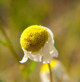 Closeup of a dying Marguerite flower, towards green — Stock Photo