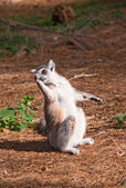 Ring-tailed lemur licks its paw — Stock Photo