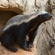 Stock Photo: Honey badger