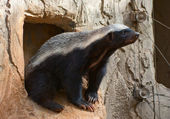 Honey badger — Stock Photo