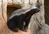 Honey badger — Stock Photo