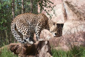 Leopard gets up — Stock Photo