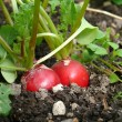 Stock Photo: Radish in organic farming