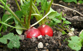 Radish in organic farming — Stock Photo