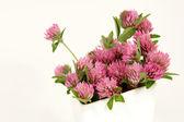 Koniczyna kwiaty — Zdjęcie stockowe