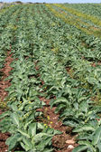 Green vegetable farm — Стоковое фото