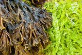 Fresh algae — Stock Photo