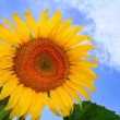Beautiful sunflower with blue sky — Stock Photo #11920301