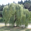 Weeping willow — Stock Photo #11277743