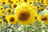 Sunflower upwind — Stock Photo