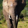 Elephant approaching - Stock Photo