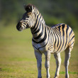 Zebra Portrait — Stock Photo #11433260