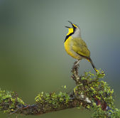 Bokmakierie bird - Telophorus zeylonus — Stock Photo