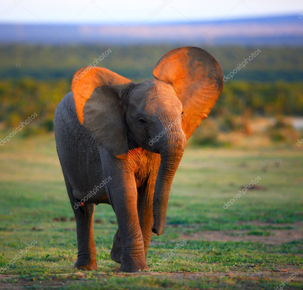 Baby Elephant (Motion Blur due to slow shutter - face in focus) — Stock Photo #11433224