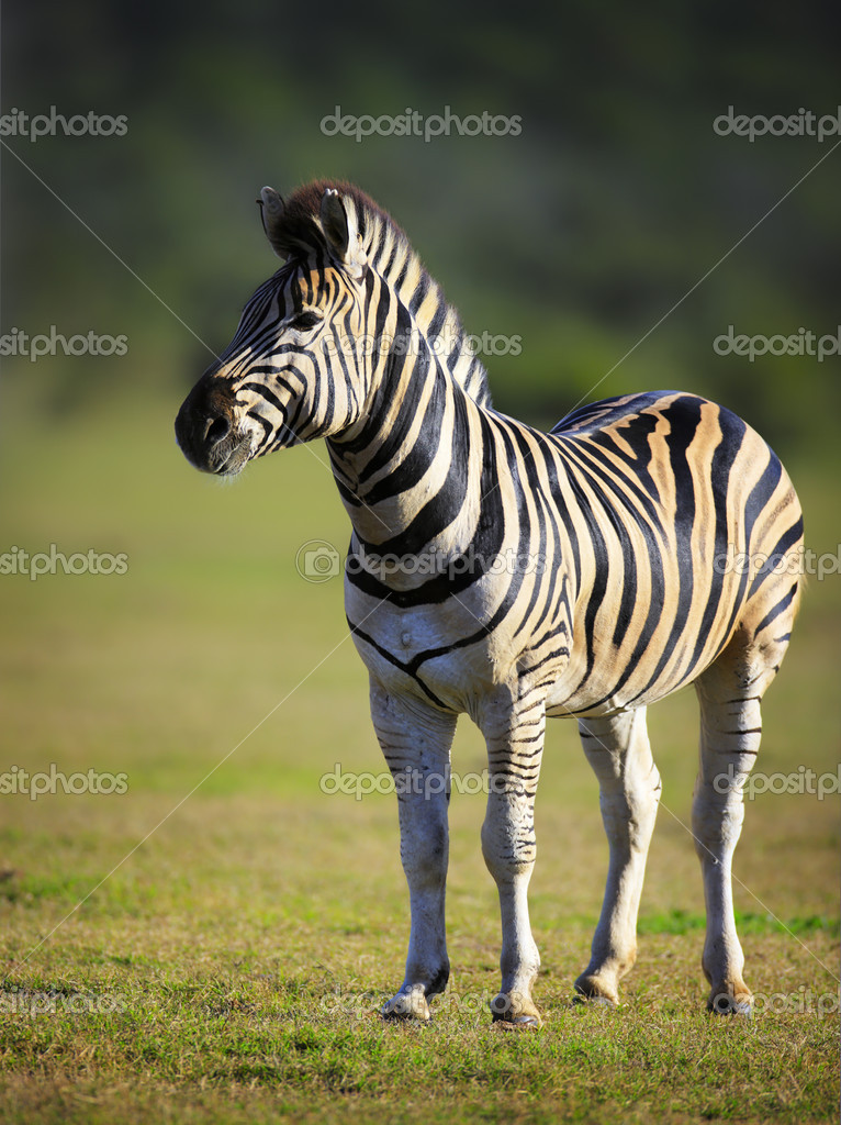Zebra on green plains of Addo National Park - South Africa — Stock Photo #11433260