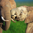 Elephants interacting — Stock Photo