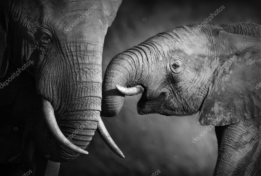 Elephants showing affection (Artistic processing)  Stock Photo #11760110