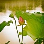 Lotosový květ — Stock fotografie