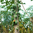 Papaya tree — Stock Photo