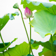 flower lotus — Foto Stock