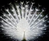 White peacock — Stock Photo