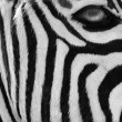 Zebra in black and white style — Stock Photo